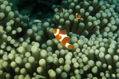 False Anemonefish, Perhentian Island, Terengganu Royalty Free Stock Photos
