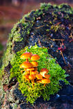 False armillaria mushrooms (Hypholoma fasciculare) Royalty Free Stock Photo