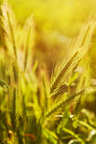 False barley Royalty Free Stock Photography