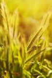 False barley Royalty Free Stock Photography