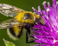 False bumble bee Stock Photo
