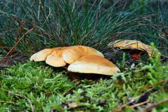 False chanterelle Royalty Free Stock Photos
