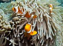 False Clown Anemonefish Royalty Free Stock Photography