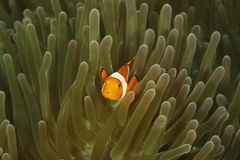 False Clown Anemonefish (Amphiprion ocellaris) Royalty Free Stock Photo