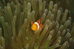 False Clown Anemonefish (Amphiprion ocellaris). On anemone Royalty Free Stock Photo