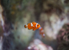 False clown anemonefish Royalty Free Stock Photo