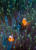 False Clownfish on Anemone. A pair of false clownfish swim over their anemonie stock images