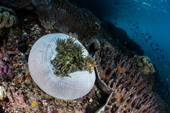False Clownfish and Anemone on Reef Stock Image