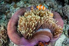 False Clownfish and Anemone Royalty Free Stock Photography