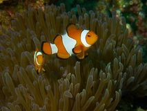 False Clownfish Stock Photography