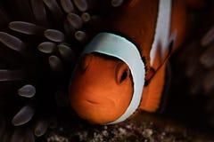 False Clownfish Stock Photos