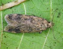 Free False Codling Moth Royalty Free Stock Photos - 124550318
