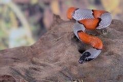 False coral snake Stock Images