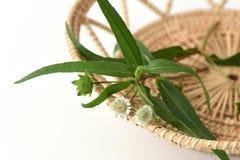 False daisy, white-head tree. Stock Photo