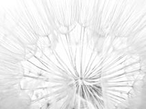 False Dandelion Puff Stock Photos