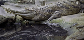 False gavial 5 Royalty Free Stock Image