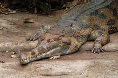 False gavial (Tomistoma schlegelii) Royalty Free Stock Images