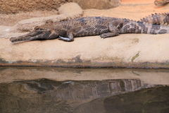 False gharial. The false gharial lying at water royalty free stock photo