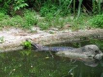 False gharial on banks Royalty Free Stock Photos