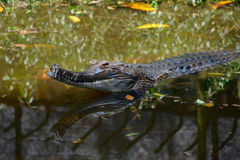 False gharial Royalty Free Stock Image