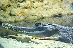 False Gharial (Tomistoma Schlegeli) Stock Photos