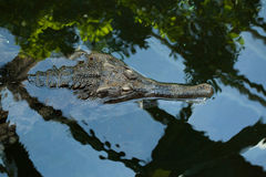 False gharial (Tomistoma schlegelii). Royalty Free Stock Image