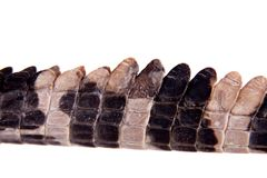 The false gharial , Tomistoma schlegelii, on white Royalty Free Stock Photos