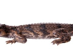 The false gharial , Tomistoma schlegelii, on white Stock Images