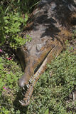 False Gharial. Toothy Crocodile Resting In Green Vegitation Royalty Free Stock Image