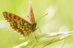 False Heath Fritillary Royalty Free Stock Photos