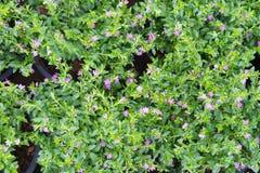 False heather plant Stock Image