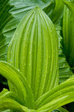 False hellebore after rain Royalty Free Stock Photo