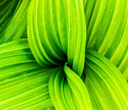 False Hellebore Royalty Free Stock Image