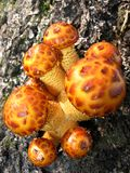False honey agarics Royalty Free Stock Photo
