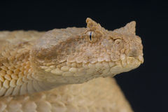 False horned viper / Pseudocerastes fieldi Stock Image