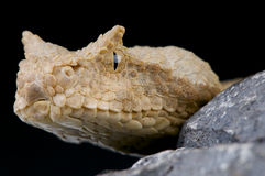 False horned viper / Pseudocerastes fieldi Royalty Free Stock Image