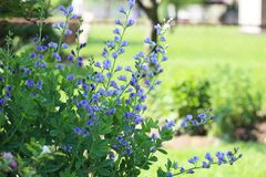 False Indigo Flower stock photos