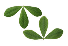 False Indigo Leaf Royalty Free Stock Image