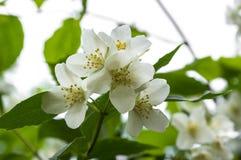False jasmine, mock-orange, Philadelphus in bloom. Flowers and leaves on branches, sunlight Stock Image