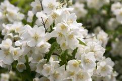 False jasmine, mock-orange, Philadelphus in bloom. Spring time blooming shrub Stock Photos