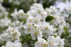 False jasmine, mock-orange, Philadelphus in bloom. Spring time blooming shrub Stock Photo
