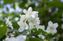 False jasmine, mock-orange, Philadelphus in bloom. Spring time blooming shrub Stock Images