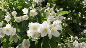 False jasmine, Mock orange (Philadelphus). HD footage stock footage