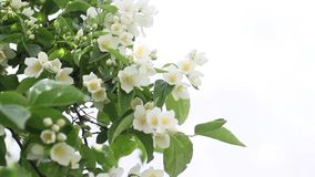 False jasmine, Mock orange (Philadelphus). HD footage stock video