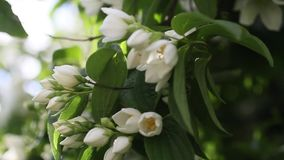 False jasmine, Mock orange (Philadelphus). HD footage stock video footage