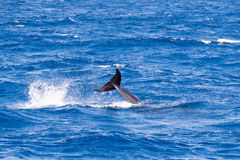 False Killer Whale Jumping near Sao Miguel, Azores. Portugal stock photography