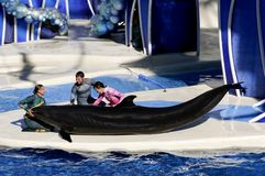 False Killer Whale with Three Trainers Royalty Free Stock Image