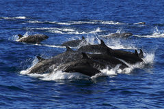False Killer whales pods royalty free stock photos