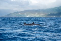False killer whales. Two false killer whales Pseudorca crassidens near to the misty island of Pico in the Azores royalty free stock photography