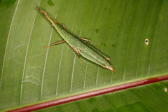 False-locusts on palm leaves. Stock Images